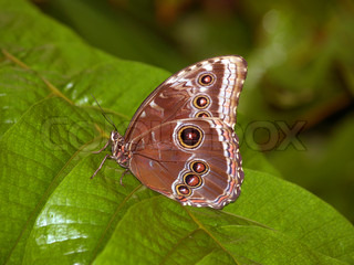 Emperor butterfly sitting on the leaf