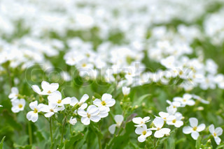Field of white flowers on the green background