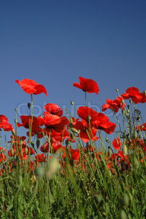 red poppy flowers field and blue sky