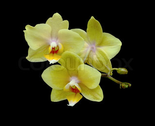 orchid flower isolated on black background close up