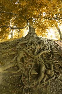 meget gamle træ fra den tjekkiske skoven