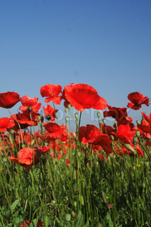 nice red poppy field and blue sky