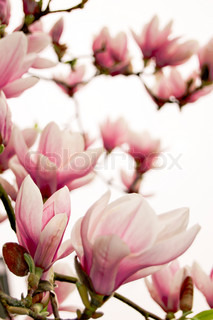 Image of 'magnolia, blossom, wallpaper'