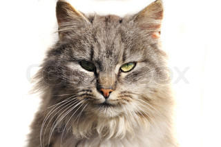 head of furry cat isolated on the white background