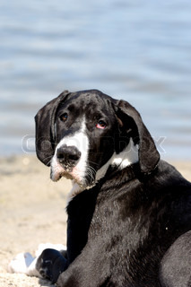 Great Dane puppy at the beach