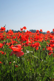 red poppy flowers as very nice natural background