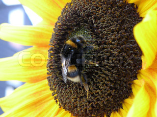 bumble bee on sunflower close up