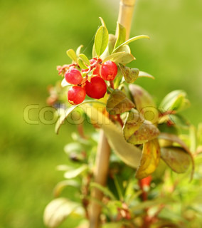 Young cranberry plant with fruits