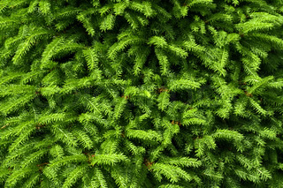 green fir tree branches as background