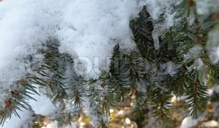 close up snow and ice on conifer branch