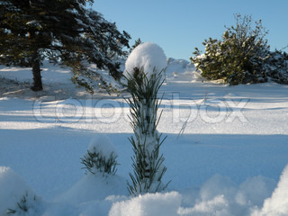 top of small conifer looking out of snow with snow top