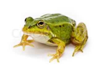 Rana esculenta. Green European or water frog on white background.