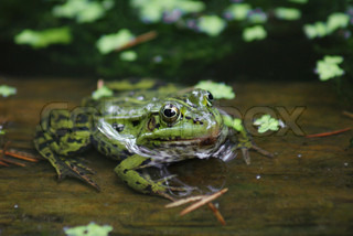 A frog with huge eyes is sitting in a pond looking at you