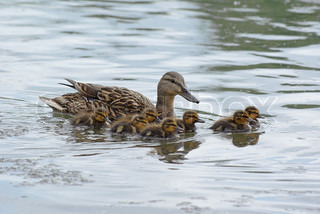 Little ducklings swimming with their mother on a lake