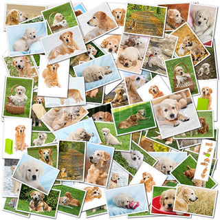 A collage of photos of golden retriever, a collection of photos isolated on a white background, which can be found in high resolution in my portfolio