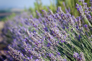 Close-up of lavender in a field with shallow depth of field