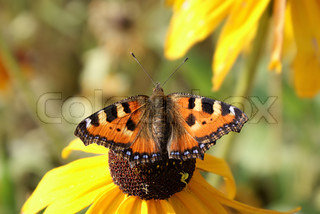 Orange spotted small tortoiseshell butterfly on cone flower