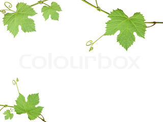 The green grape leaves on a white background, frame