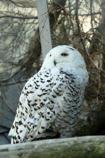 Polar owl in a small zoo on Grimsel pass Switzerland