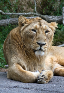 Indian lion in Zurich Zoo Switzerland