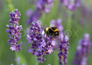 Bumblebee collecting lavender honey