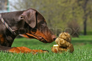 Dobermann puppy plaing with teddy bear toy