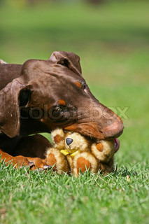 Dobermann dog playing with teddy bear toy