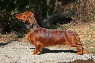 Red long hear Close up portrate of red longhear Dachshund dog standin on a stone plate