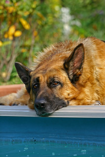 Portrait of a German shepherd hung a head on pool edge