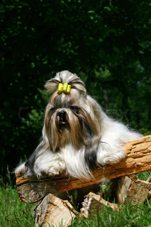 is a breed of small companion dog of very ancient type, with long silky fur The breed originated in China, possibly by way of Tibet The name is both singular and plural