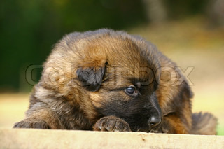 The German Shepherd Dog GSD, also known as an Alsatian, German: Deutscher Schaferhund is a breed of large-sized dog that originated in Germany German Shepherds are a relatively new breed of dog, whose origins date to 1899 As part of the Herding group, the