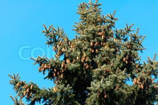 Baggrund af fyrretræ nåle med kegler