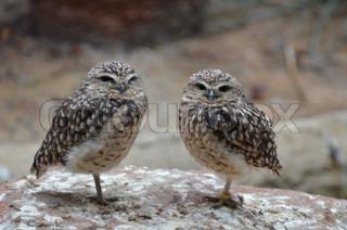 Image of 'owl, two, pair'