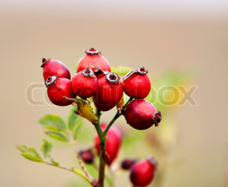 wild brier with rose hips - autumn fruits - medical plant