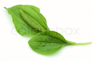 Plantain leaves on a white background