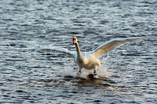 Flying mute swan - water skiing | Stock Photo | Colourbox