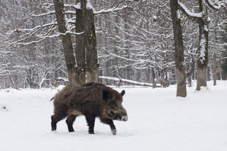 a wild boar is in the winter forest