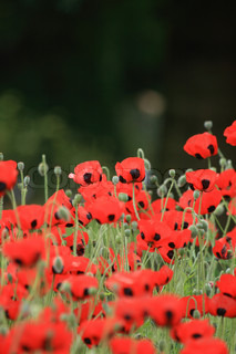 nice red poppy flowers as spring background