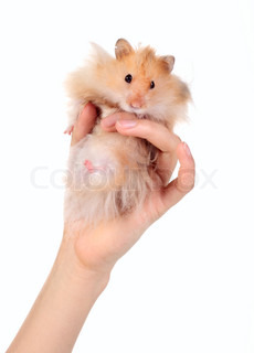 Funny hamster in the hand isolated on the white background