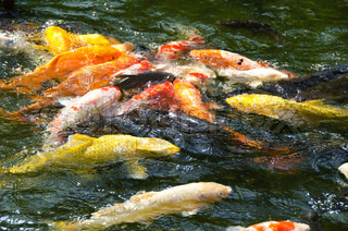 Japanese koi swimming in water and fighting for food