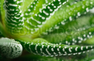 Close-up of the healing plant Aloe Vera