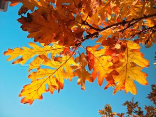 Rød eg blade på gren