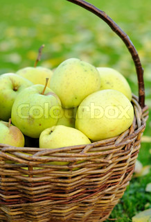 Green autumn apples in basket