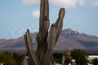 closeup of a cactus in a landscape of Lanzarote, Canary Islands, Spain
