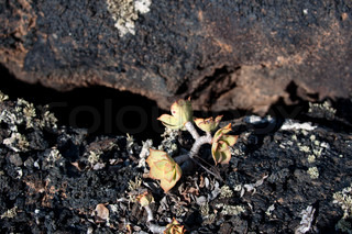 Typical arid volcanic soil with small cactus plant in Lanzarote, Canary Islands, Spain