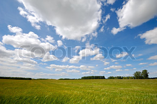 Landscape with corn field The sky is blue with white clouds