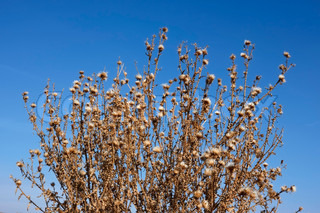 Dried thistle plants against the background of blue sky