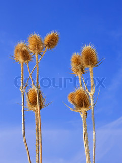 Group of dried teasel flowers against blue sky