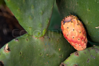 Prickly Pear fruit ripening on large cactus planton Lanzarote, Canary Islands, Spain
