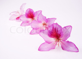 beautiful pink flowers with shallow DOF over white background